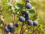 Bog Bilberry - Northern Bilberry (Vaccinium uliginosum)